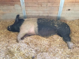 Zeus is one big pig at more than 800 pounds!